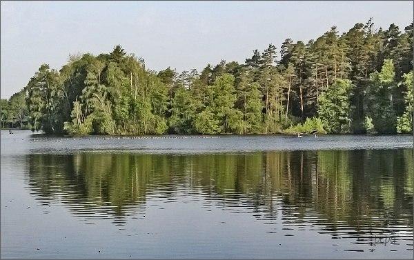 Husy velké na rybníku Vyšehrad