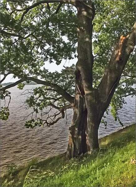 Staré duby na hrázi Rožmberka