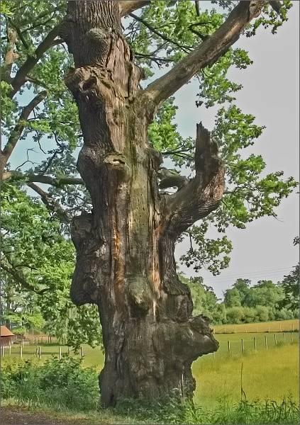 Starý dub na hrázi rybníka Starý Vdovec