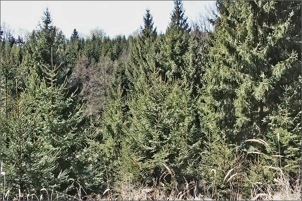 V údolí Bukovanyk lze spatřit nefalšovaný, hustý smrkový les