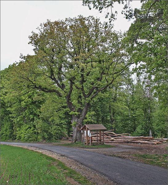 Švábenický dub