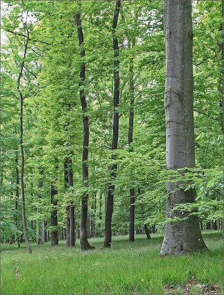 Raději pěkným listnatým lesem