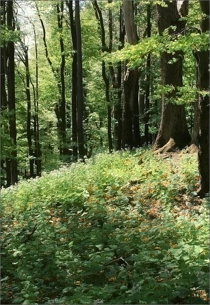 Národní přírodní rezervace Javorina
