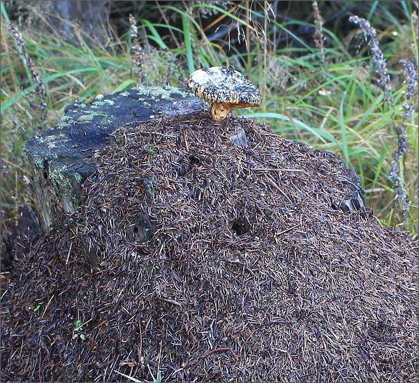 Mraveniště s houbou