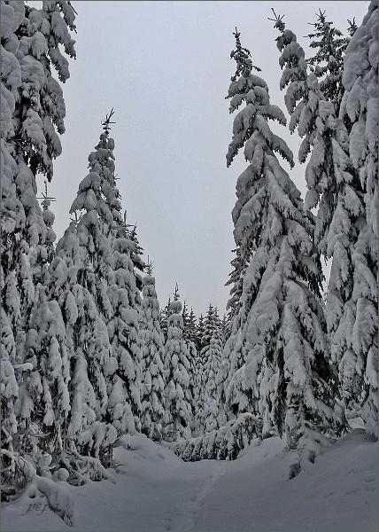 Zimní les na Medvědí louce