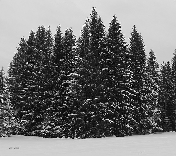 Les u Starého Rejvízu