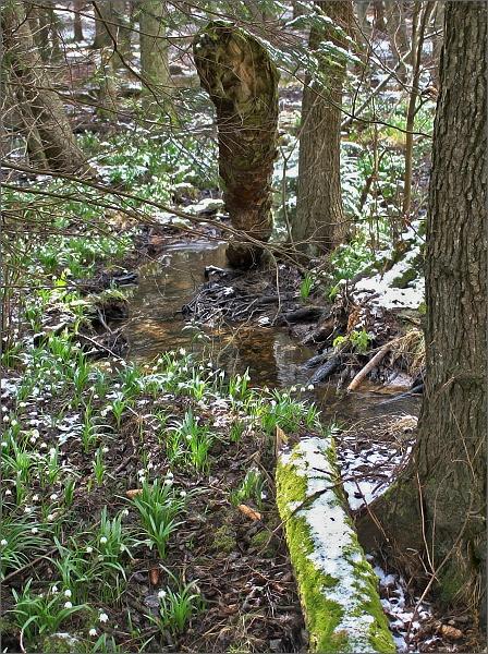 Bledule jarní v Přírodní rezervaci Ploník