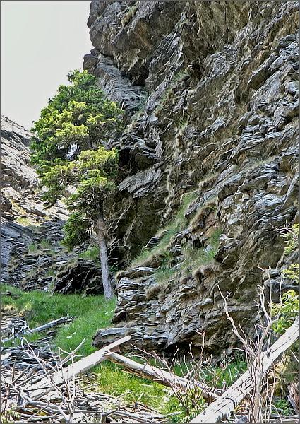 ...a další z vitálních smrků pod Sokolí skalou