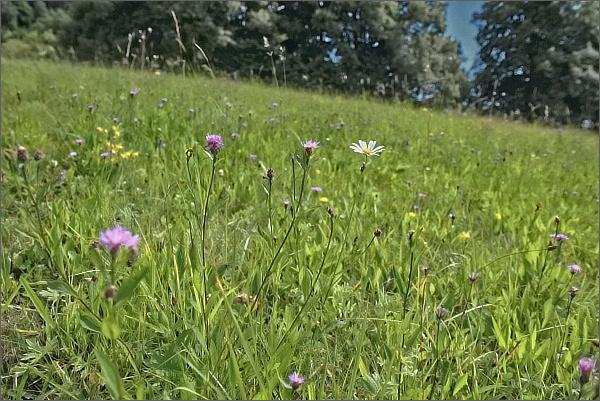Srpnové trávy